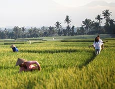Rice Farming at Taman Buwana Farm
