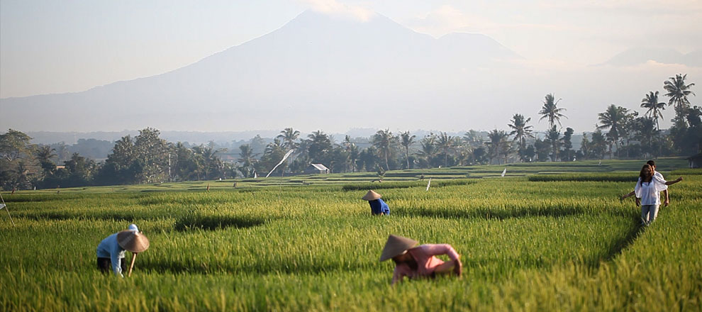 Balinese Agriculture & Green Paddy Fields