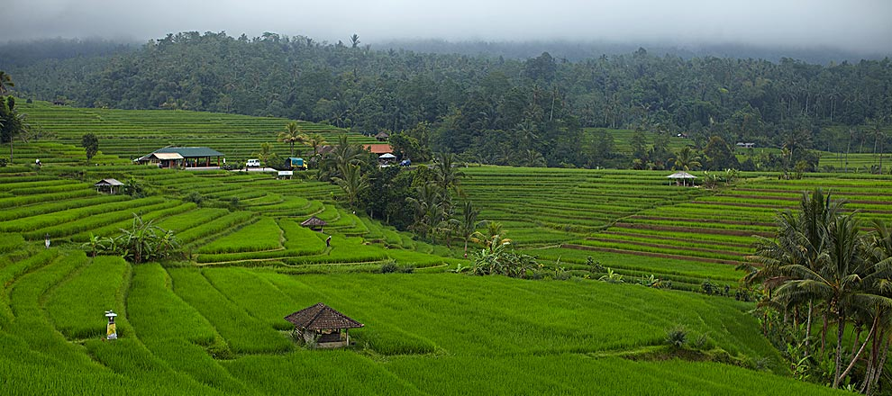 Green Paddy Fields near Alila Villas Soori